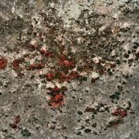 pyrrhocoridae